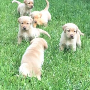 litter of yellow labradors