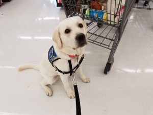 service dog in training waiting in line at the grocery store