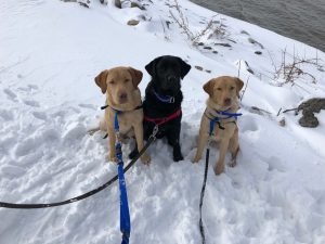Service dogs in training at Augustana College