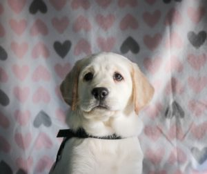 A yellow labrador puppy sits in front of a heartbackground